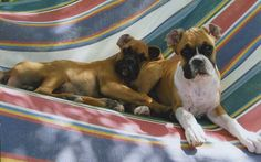 """""""Our playful boxer puppies love to cuddle in the hammock,"""" writes Country magazine reader Andrea Hanel."""