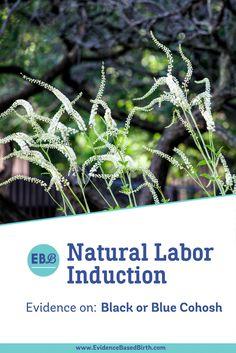 Natural Labor Induction Series: Blue Cohosh or Black Cohosh July 5, 2017 by Rebecca Dekker
