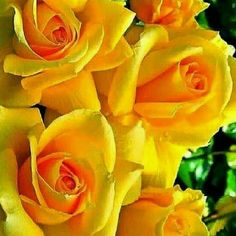 Yellow Roses my favourite Beautiful Rose Flowers, Love Rose, Amazing Flowers, Beautiful Flowers, Lavender Roses, Yellow Flowers, Colorful Flowers, Red Roses, Roses Only