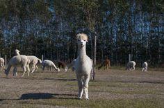 Alpaki w Polsce zyskują coraz większą liczbę fanów. Jako doświadczeni hodowcy oferujemy na sprzedaż zwierzęta najwyższej jakości i fachową pomoc.