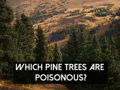 Which Pine Trees Are Poisonous? - SHTF Preparedness
