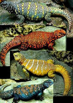 Uromastyx Lizards - A genus of lizards (agamids) commonly called dragons.