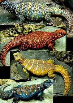 Uromastyx Lizards
