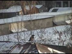 ▶ TOBOGGANING CROW -- Just your normal smart & playful crow having lots of fun by sliding down a snow-covered rooftop on a lid .... over & over again. This is an oldie but a goodie. | Posted by Портал Глазей, YouTube (4/4/2012, 1:24)