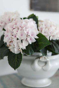 Light pink hydrangea cuttings from the garden