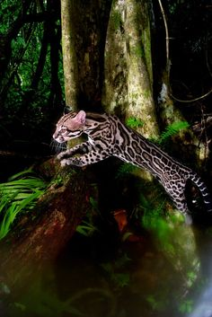 Beautiful!  An ocelot quietly walking its territory in search of food, Barro Colorado Island, Panama. Photo copyright Christian Ziegler. Barro Colorado, Island of Magic Diversity in the Middle of Panama Canal – News Watch