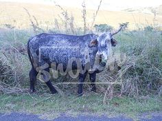 Roadside cattle – Snatch Stock Images - Stock Photography | Vectors | Graphics | Videos Vector Graphics, Cattle, Animal Photography, Vectors, Moose Art, Pets, Videos, Animals, Image