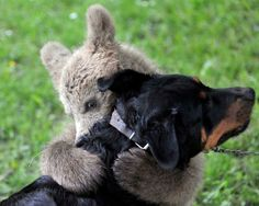 Medo The Bear Playing With The Logar Family Dog In Central Slovenia