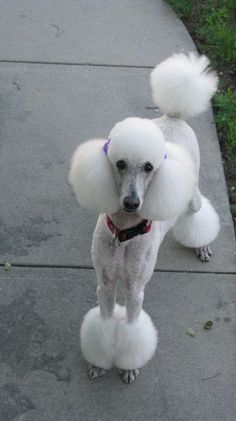 Snoody Poodle! That is a cute cut!