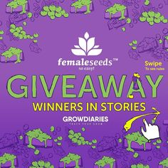 GIVEAWAY WINNERS See @grow.diaries STRORIES to find out who won this amazing giveaway by GrowDiaries and @femaleseeds 1 pack of 10 Seeds of White Widow x Big Bud 1 pack of 10 Seeds of Blueberry Cheesecake 1 pack of 10 Seeds of SexBud Follow us to win more stuff! Track your Grow with GrowDiaries.com #420 #420giveaway #weed #weedporn #weedbabes #weedworld #weedsociety #weedstagram #weedgram #weed420feed #weedlife #weedwithoutlimits #cannabissociety #cannabiscommunity #cannabisculture…