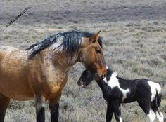 Stallion  Ohitika and colt Lego, Sand Wash Basin HMA, Colorado. Photo by Christine Beaumont.