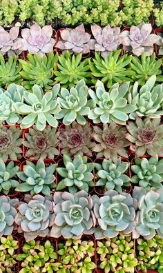 140 Beautiful Succulents for Wedding/Party Favors