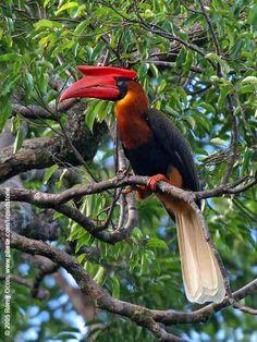 Rufous Hornbill (Buceros hydrocorax hydrocorax)