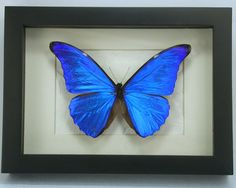 Brilliant Blue Morpho Rhetenor Real Framed Butterfly