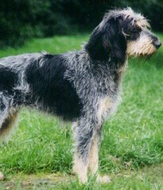 The Griffon Bleu de Gascogne Is a breed of dog of the scenthound type. All Types Of Dogs, All Dogs, I Love Dogs, Dogs And Puppies, Unique Dog Breeds, Rare Dog Breeds, Griffon Dog, Dog Furniture, Different Dogs