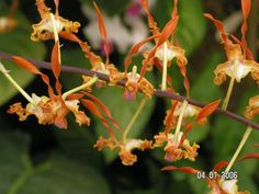 miniature orchids - Google Search