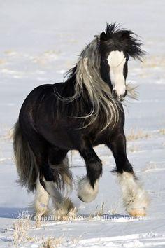 Beautiful Gypsy Vanner Horse