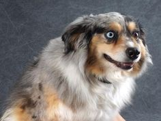 Adopt Polly, a lovely 7 years 9 months Dog available for adoption at Petango.com. Polly is a Australian Shepherd, Miniature and is available at the National Mill Dog Rescue in Colorado Springs, Co. www.milldogrescue.org #adoptdontshop #puppymilldog #rescue #adoptyourfriendtoday