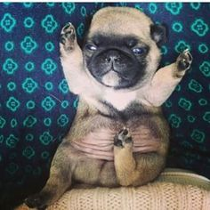 This petite pug who wants your love.