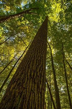 Up Trunk Looking Up, Woods, Nature Photography, Trees, Awesome, Plants, Woodland Forest, Tree Structure, Nature Pictures