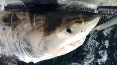 Five monster sharks caught off NSW north coast in two days