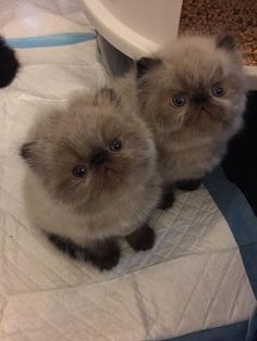 """""""My babies!"""" - Lindsey Bailey <3  Tag a #CatLady 🐾❤️  #PersianCat #Persian #Cats #Pet #CatLover #PersianCatPhilippines #Philippines #BuzzfeedAnimals #CatsOfPinterest Beautiful Kittens, Cute Cats And Kittens, Pretty Cats, Kittens Cutest, Animals Beautiful, Cute Baby Animals, Funny Animals, Funny Cats, Gatos Cat"""