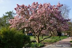 facile et beau - Gusta: Magnolien im Stadtpark