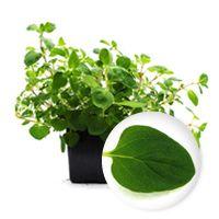 Como cuidar de Plantas Aromáticas - Sálvia
