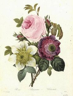 Rose, Anemome and Clematis by Pierre Redoute