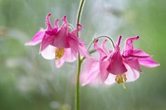 Columbine by Mandy Disher on 500px