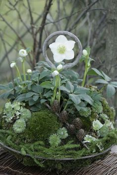 Christmas rose in the planter- Christrose in der Pflanzschale Christmas rose in the planter - Succulents In Containers, Container Flowers, Container Plants, Container Gardening, Gardening Zones, Vegetable Gardening, Winter Plants, Winter Garden, Deco Floral