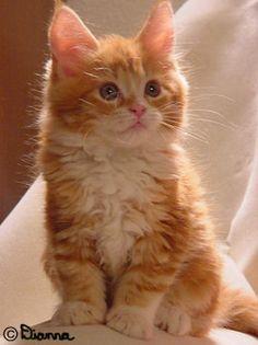 Blazers Maine Coon kittens