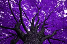beautiful purple tree shot