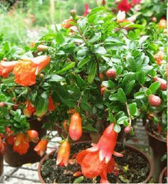Dwarf Pomegranate (Punica granatum 'Nana') - to 2 feet, This dwarf version of pomegranate makes it the perfect indoor fruiting shrub. Large Plants, Dwarf, Houseplants, Pomegranate, Shrubs, Fruit, Vegetables, Happy, Granada