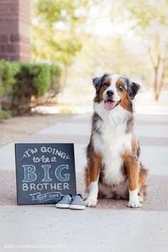 Baby announcement with Brizzie, my Australian Shepherd dog