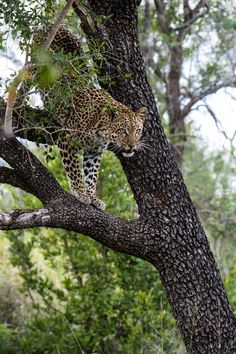 leopards mating while on safari at Sabi Sabi Luxury Safari Lodges