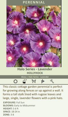 Halo Series - Lavender HOLLYHOCK Alcea r. Halo Series - Lavender