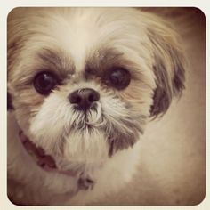 This cute baby looks like he belongs with my babies at home..♥ shihtzus