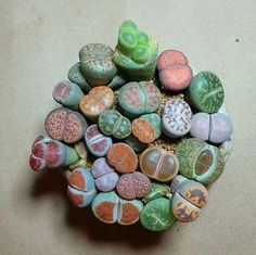 Lithops the living rocks