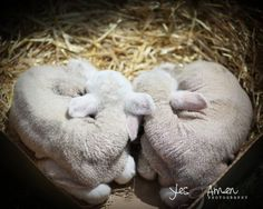 love you  fine lamb photography and so farm fresh par YesandAmen, $5.50 This would b an amazing 4-h picture with little newborn twin calves<3!!