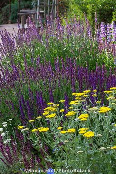 Perennial bed with Salvia (Sage) and Achillea (Yarrow); Elspeth Bobbs Garden