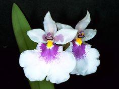 Caucaea nubigena - The white-form