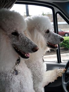 """""""Poodles make great RV travelers! Max and Buddy on the move."""""""
