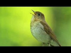 """Wood Thrush Singing - YouTube - a birthday gift to """"the poetess"""" from my lovely friend Sandra W."""