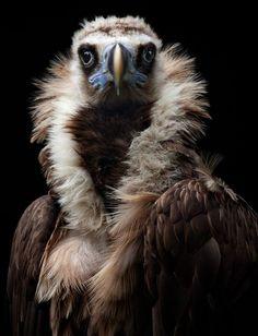 Henrik Spranz   His Eminence (Eurasian black vulture)