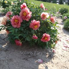 peonies and wildflower candle Tree Peony, Peony Flower, Flower Pots, Tropical Flowers, Spring Flowers, Wild Flowers, Peonies Garden, Sunset Colors, Cool Plants