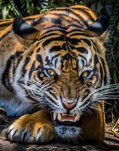 (photo by Todd Lahman) Sumatran Tiger Big Cats, Cool Cats, Cats And Kittens, Nature Animals, Animals And Pets, Cute Animals, Wild Animals, Baby Animals, Beautiful Cats