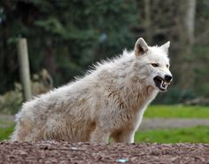 This wolf was growling at some children outside the fence that were tainting him! Taken at the Woodland Park Zoo in Seattle Wa.