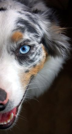 Australian Shepherd - from a land down under where the birds are hot pink and dogs have blue eyes