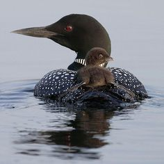 Loon and baby - Pixdaus